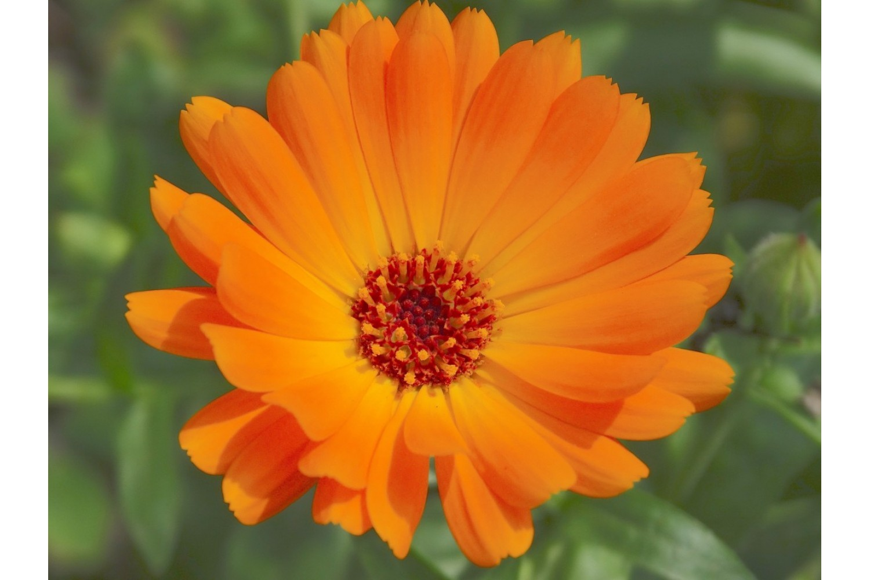 Souci Fleurs Bio 25 g *